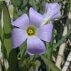 Oxalis_violacea_violet_sorrel1_THUMB