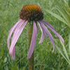 pale_coneflower_THUMB