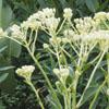 Prairie_indian_plantain_Cacalia_plantaginea_Thumb