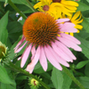 Purple Coneflower Thumb