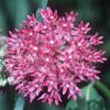 Purple milkweed Thumb