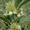 roundheaded_bush_clover_2_THUMB