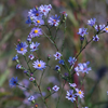 Sky blue aster thumb