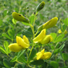 Small Yellow Wild Indigo Thumb