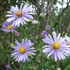 Smooth blue aster Thumb
