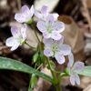 Claytonia virginica