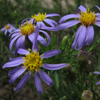 stiff  leaved aster Thumb