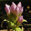 stiff_gentian_Gentianella quinquefolia_THUMB
