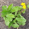 Marsh Marigold Thumb