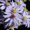Symphyotrichum_shorii_Aster_shortii_3_THUMB