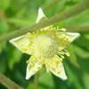 tall thimbleweed Thumb