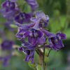 Tall larkspur Thumb