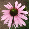 Tennessee Coneflower Thumb
