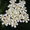 THUMB_Achillea millefolium flower closeup SEF