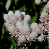 THUMB_Antennaria parlinii flower closeup LBJ