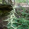 THUMB_Astilbe biternata plant LBJ