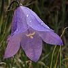THUMB_Campanula rotundifolia closeup LBJ