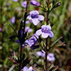 THUMB_Clinopodium arkansanum flower closeup LBJ