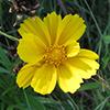 THUMB_coreopsis grandiflora 2 LBJ