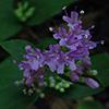 THUMB_Cunila origanoides flower closeup wiki