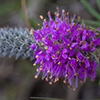 THUMB_Dalea gattingeri flower closeup SEF