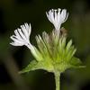 THUMB_Elephantopus_carolinianus flower SEF