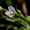 THUMB_Epilobium coloratum flower LBJ