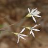 THUMB_Gillenia_trifoliata flower SEF