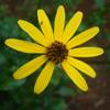 THUMB_Helianthus atrorubens flower closeup LBJ