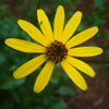 THUMB_Helianthus atrorubens flower closeup LBJ