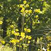 THUMB_Helianthus silphioides plant Ron Thomas VB