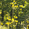 THUMB_Helianthus silphioides plant Ron Thomas VB