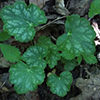 THUMB_Heuchera longiflora leaf Ryan Folk