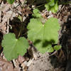 THUMB_Heuchera_americana leaves SEF