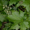 THUMB_Heuchera_villosa leaves SEF