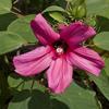 THUMB_Hibiscus_lasiocarpus flowers leaves SEF