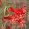 THUMB_Ipomopsis_rubra flowers SEF