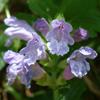 THUMB_Meehania cordata flower closeup LBJ