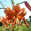 THUMB_michigan_lily_2_Keith_Horn