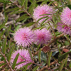 THUMB_Mimosa_microphylla flowers SEF