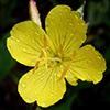 THUMB_Oenothera fruticosa 1 LBJ