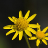 THUMB_Packera_obovata flower SEF