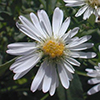 THUMB_panicled aster closeup John Hilty.jpg