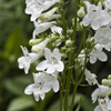 THUMB_Penstemon_laevigatus flowers SEF