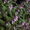 THUMB_Penstemon_smallii plant LBJ