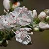 THUMB_Polygonella americana flower closeup SEF