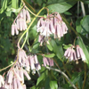 THUMB_Prenanthes_alba flowers PM