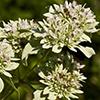 THUMB_Pycnanthemum muticum flower cluster SEF