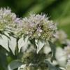 THUMB_Pycnanthemum_incanum flowers SEF