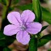 THUMB_Ruellia_caroliniensis flower SEF